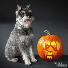 Pumpkin-Carvings of Dogs - Schnauzer  #dog #schnauzer #pumpkin #pumpkincarvings #diy #creative #dogfriendlyplaces