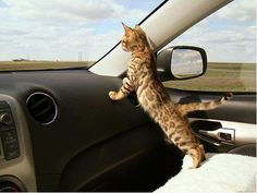 I think we need a Bengal. This Bengal kitten should be wearing a seatbelt. I Love Cats, Crazy Cats, Cool Cats, Hate Cats, Weird Cats, Baby Animals, Funny Animals, Cute Animals, Wild Animals
