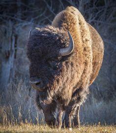 Buffalo Bull - Buffalo bull strolling stately along in the evening light at Custer State Park in southwestern South Dakota, USA.