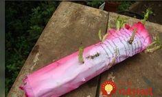 Trik s novinami a plastovou taškou – je úplne zadarmo a budete mať vďaka nemu plnú záhradu krásnych ruží!