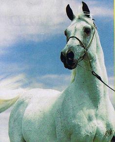 Amaal 1968-87 grey stallion (Morafic x Bint Maisa El Saghira) 1968-87 grey stallion bred by Gleannloch Farms