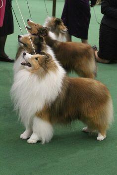 Shetland Sheepdog perfection