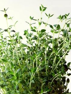 Thyme Tea Side Effects.. and good remedy for cough too