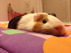 Christopher Matta 	  	 				 					 						 					 				 			  	      	  	 		 			- This guy over here is Presunto, my sweet and fluffy guinea pig :)