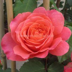 Rosen online kaufen | Emilien Guillot | rosenpark-draeger.de