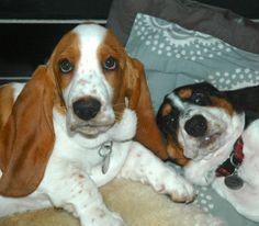 adorable basset hounds