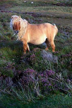 Shetland pony originating in the Shetland Isles of Scotland.