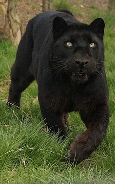 schwarz weiß puma tier