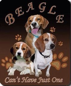 Beagles, the king of dogs..