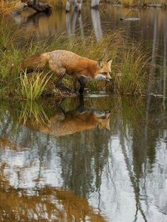 Red Fox lives in the Wild