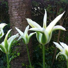Viridiflora Tulip 'Green Star'