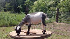 Fields of Grace Fimbrithil  Susurrrare Salix Farm  Nigerian Dwarf Goat