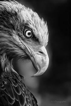b, beak, bird, black and white, eagle