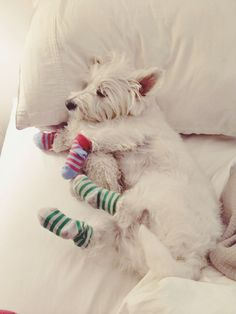 got my comfy socks on Westie Puppies, Westies, Dogs And Puppies, Doggies, Cutest Dog Ever, West Highland Terrier, White Terrier, White Dogs, Little Dogs