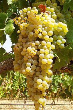 Pedro Ximenez Grapes