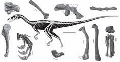 Tawa hallae. //A vertèbre cervicale antérieure GR 243 en vue latérale. B omoplatedroite GR 242 en vue latérale. C fosse iliaque droite GR 155 en vue latérale. D vertèbres caudales Moyenne GR 155 en vue latérale. E humérus gauche GR 242 en vue postérolatérale. Reptiles, Mammals, Fossils, Primitive, Moose Art, Creatures, Gauche, Biology, Paleo