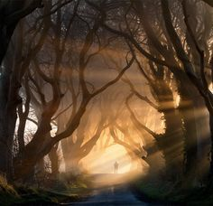 """The 'Dark Hedges' in county Antrim. Capture as the first rays of the sun burst through the trees and lifted the fog to created this wonderful mood and corridor of light. The figure in the composition is Bob McCallion winner of the Country file calendar shot """"Guard of Honour"""". I think his silhouette adds to the shrouded mood and gives the scene a sense of mystery and wonder."""