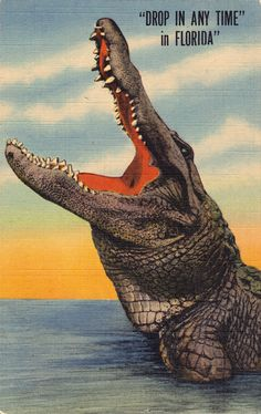 Vintage Florida Alligator Postcard. I love how they advertised the gators in Florida, as if tourists could get eaten at any moment.
