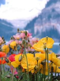 poppies with the glacier at lake louise, Canada by janet