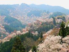 Yoshino Travel: Mount Yoshinoyama (Yoshinoyama Cherry Blossoms)