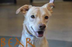 BEAR. Animal ID: 20887040Species: Dog Breed: Retriever, Labrador/Mix Age: 1 year 7 months 9 days Sex: Male Size: Medium Color: White Spayed/Neutered: YesDeclawed: No Housetrained: Unknown Site: Hamilton/Burlington SPCA Location: Dog Adoption Kennels Intake Date: 2/18/2014 Adoption Price: $325.00. Hamilton Humane Society, Ontario, Canada. https://hbspca.com/adopt/dog/bear/20887040/