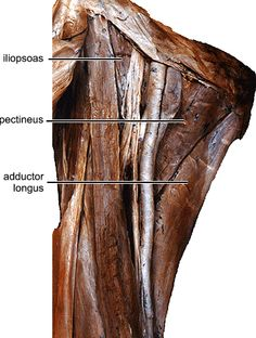 1000+ images about pelvisbones on Pinterest | Anatomy ...