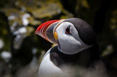 Cute puffins in Iceland.