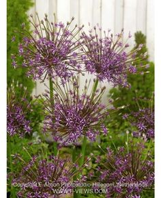 Allium Spider later flowering that other alliums and beautifully delicate.