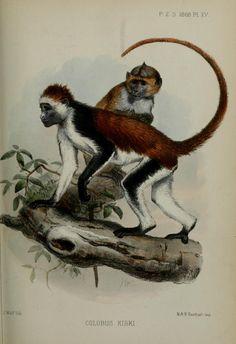 Colobus kirki. Proceedings of the Zoological Society of London 1868 London :Academic Press, [etc.],1833-1965. Biodiversitylibrary. Biodivlibrary. BHL. Biodiversity Heritage Library
