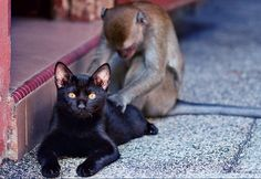 monkey in beautiful relationship with black cat. inter-species fondly deep relationships! ✨❤LOVE❤✨