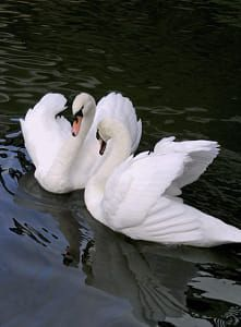 Swans by Mikhail Smurov / Beautiful Swan, Beautiful Birds, Animals For Kids, Animals And Pets, Cygnus Olor, Montreal Botanical Garden, Mute Swan, Swan Song, Ancient Egyptian Art