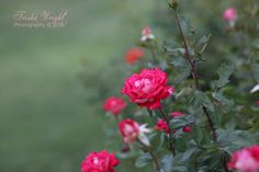 Roses at twilight