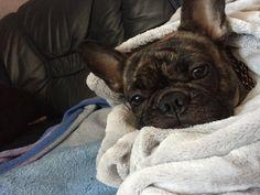 Frenchton, a French Bulldog and Boston Terrier mix