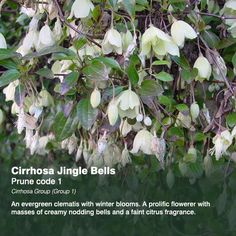 Clematis cirrhosa var purpurascens 'Jingle Bells' winterblooming, evergreen clematis with creamy-white nodding bell-shaped flowers with a hint of citrus scent. blooms November to March, zone