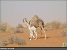 momma and her baby camel