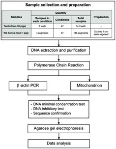 A method for extracting DNA from hard tissues for use in forensic identification Mitochondrial Dna, Human Teeth, Nucleic Acid, Google Scholar, Positive And Negative, Primers, Forensics, Genetics, Positivity