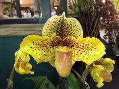 https://flic.kr/p/qT8xDc | Santa Barbara Orchid Show |  Entire set: Santa Barbara Orchid Show 2015