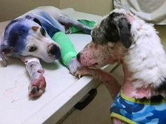 Abused Dogs Comfort One Another While Being Treated in Animal Clinic: The…