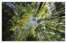 Tall Trees, Forest HD desktop wallpaper : Widescreen : High Definition : Fullscreen : Mobile