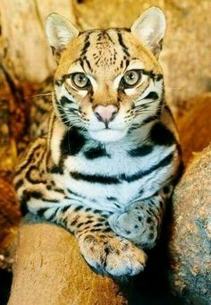 ocelot kitten starts the new week with a new name animalia ii