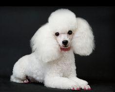"Nikki Howard's Dog, ""Cosabella"""