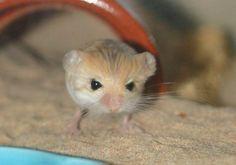 (pygmy jerboa)