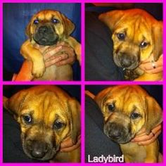 Ladybird is an adoptable American Bulldog Dog in Kent, OH.  Ladybird is an 8-week-old, female mixed breed puppy (presumably American Bulldog/Mastiff). She was born into the rescue after we took her m...