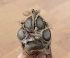 How to Care for a Dog's Sore Paw