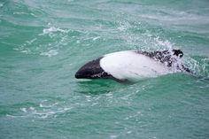 "Meet the ""Panda Dolphin"""
