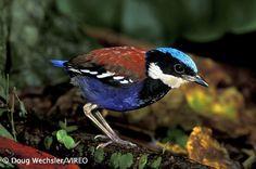 Blue Pitta | rhamphotheca:Blue-headed Pitta (Pitta baudii) - Borneo (photo: Doug ...
