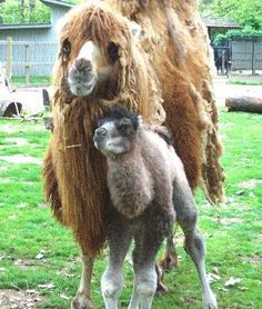 Baby Bactrian Camel & Mom by Potter Park Zoo, via Flickr