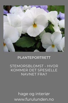 Det er slik at navnet stemorsblomst finnes i flere andre europeiske språk, blant annet på tysk – Stiefmütterchen. I denne artikkelen forteller jeg deg hvordan blomsten har fått dette navnet #stemorsblomst #vårblomst #hageinspirajson #krukkeblomster #trädgårdsinspiration Portrait, Plants, Headshot Photography, Portrait Paintings, Plant, Drawings, Portraits, Planets