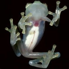 Glass frog! I reallllly want some of these