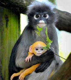 Dusky leaf monkey with beautiful baby...